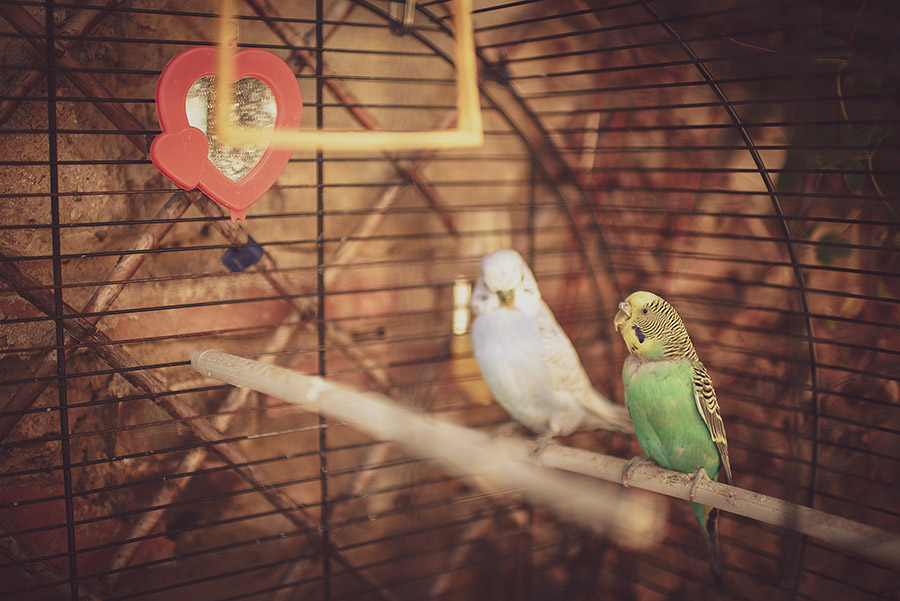Parrots. Wedding in Monte Follonico, Siena (Italy) countryside. Andrea Corsi wedding photographer, Tuscany.